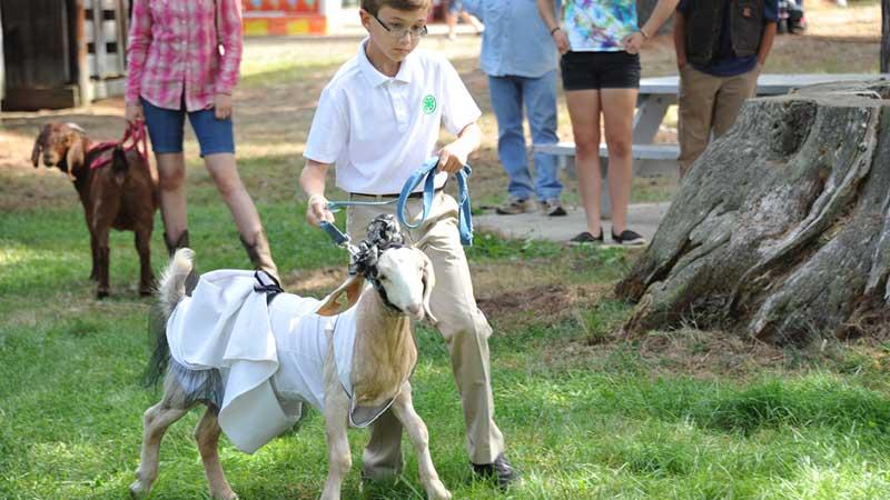 Hopkinton State Fair Dairy Goat Show