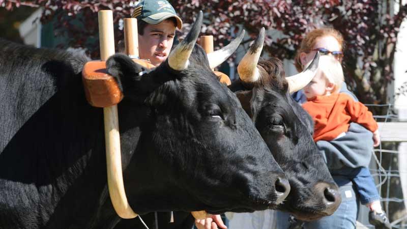 Hopkinton State Fair Oxen Show