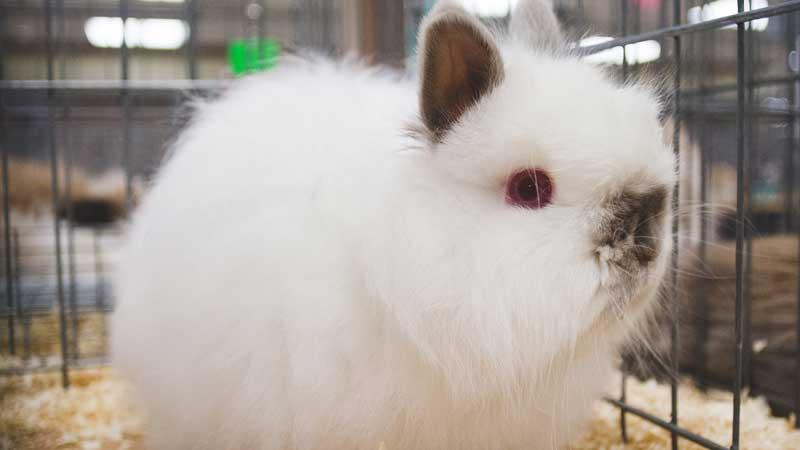Hopkinton State Fair Rabbit & Calvy Show